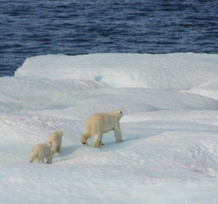 three polar bears traversing across an iceberg